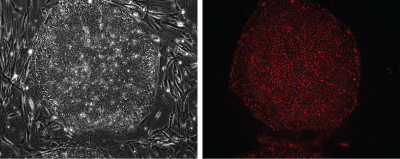 Fluorescent images of human induced pluripotent stem cells (hiPSCs) and mouse embryonic fibroblasts (MEF) stained with Stem Cell CDy1 Dye
