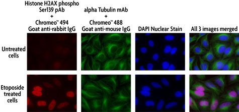 Multi-color staining of Phospho H2AX and tubulin using Chromeo 494 and Chromeo 488 secondary antibodies