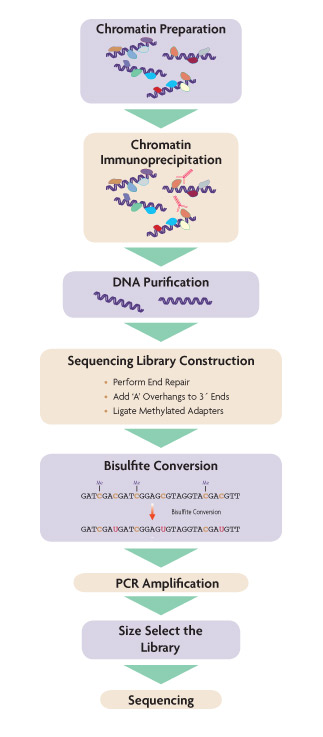 Flow chart of the ChIP-bisulfite-Sequencing method.