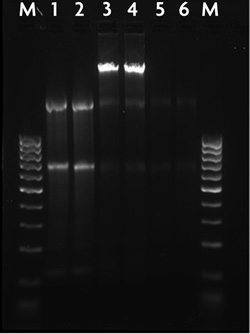 Agarose gel image of nuclear and cytoplasmic RNA isolated withe the RNA Subcellular Isolation Kit