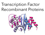 Transcription Factor Recombinant Proteins