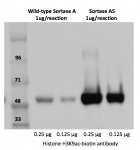 Labeling efficiency: Sortase A5 vs. Sortase Wild-type.