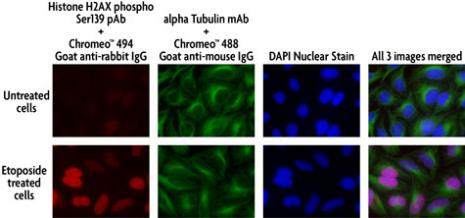 Multi-color staining of Phospho H2AX and tubulin using Chromeo 494 and Chromeo 488 secondary antibodies in untreated and etoposide-treated HeLa cells.
