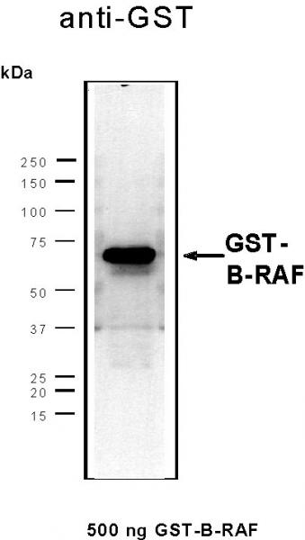 Recombinant B-RAF protein, active analyzed by SDS-PAGE gel.