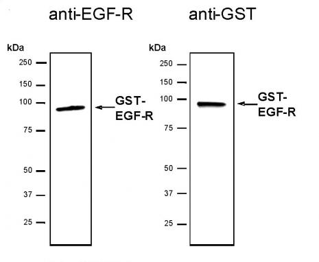 Recombinant EGFR protein, active analyzed by SDS-PAGE gel.