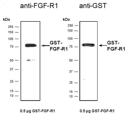 Recombinant FGF-R1 protein, active analyzed by SDS-PAGE gel.