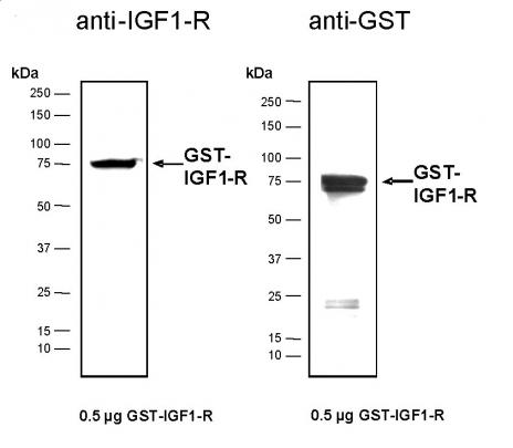 Recombinant IGF1-R protein, active analyzed by SDS-PAGE gel.