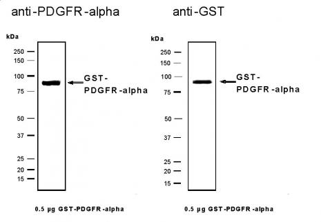 Recombinant PDGFRα protein, active analyzed by SDS-PAGE gel.