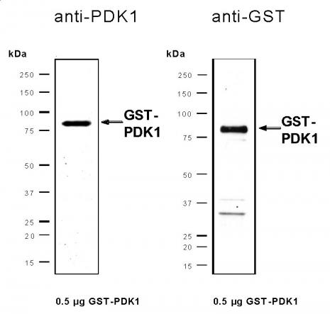 Recombinant PDK1 protein, active analyzed by SDS-PAGE gel.