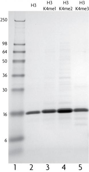Recombinant Histone H3 (C110A) analyzed by SDS-PAGE gel.