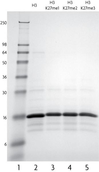 Recombinant Histone H3 dimethyl Lys27 analyzed by SDS-PAGE gel.