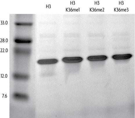 Recombinant Histone H3 dimethyl Lys36 analyzed by SDS-PAGE gel.