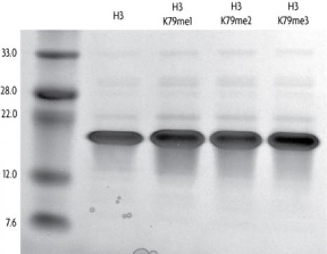 Recombinant Histone H3 trimethyl Lys79 analyzed by SDS-PAGE gel.