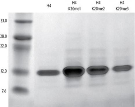 Recombinant Histone H4 trimethyl Lys20 analyzed by SDS-PAGE gel.