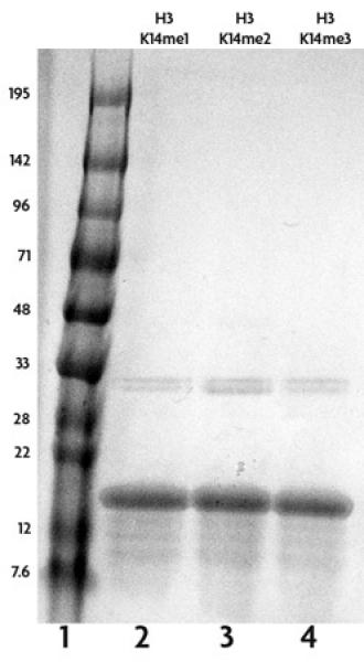 Recombinant Histone H3 monomethyl Lys14 analyzed by SDS-PAGE gel.