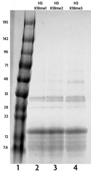 Recombinant Histone H3 trimethyl Lys18 analyzed by SDS-PAGE gel.