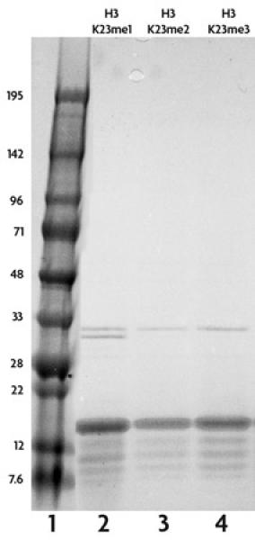 Recombinant Histone H3 trimethyl Lys23 analyzed by SDS-PAGE gel.