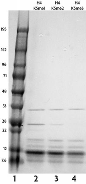 Recombinant Histone H4 monomethyl Lys5 analyzed by SDS-PAGE gel.