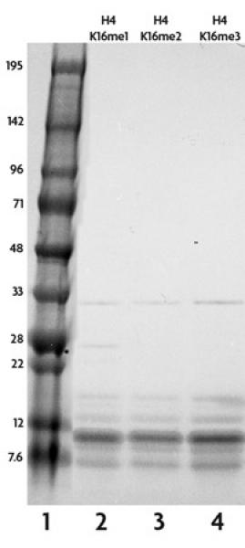 Recombinant Histone H4 monomethyl Lys16 analyzed by SDS-PAGE gel.