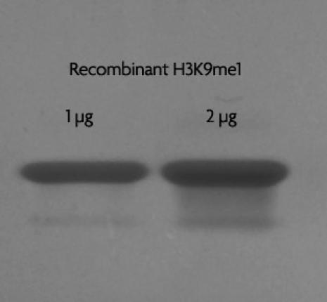 Recombinant Histone H3 monomethyl Lys9 analyzed by SDS-PAGE gel.