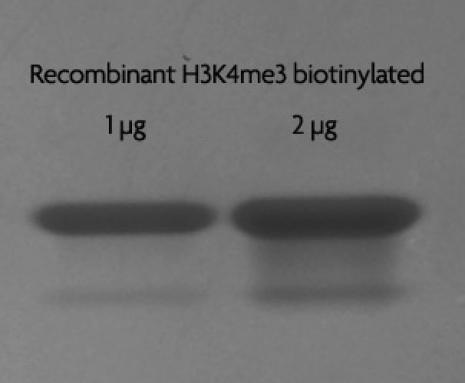 Recombinant Histone H3 trimethyl Lys4 biotinylated analyzed by SDS-PAGE gel.