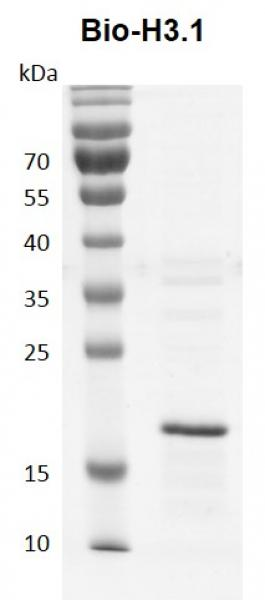 Recombinant Histone H3.1 - biotinylated Coomassie gel