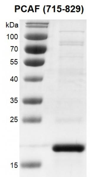 Recombinant PCAF (715-829) protein gel.