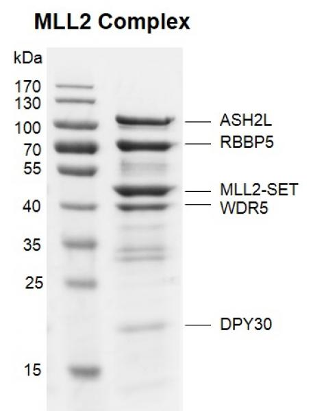 Recombinant KMT2D (MLL2)-SET protein binding assay