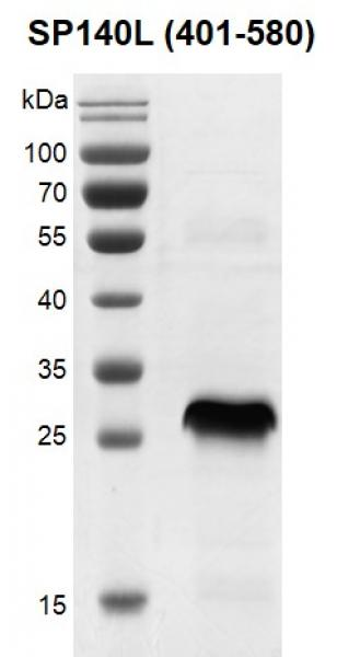 Recombinant SP140L (401-580) protein gel.