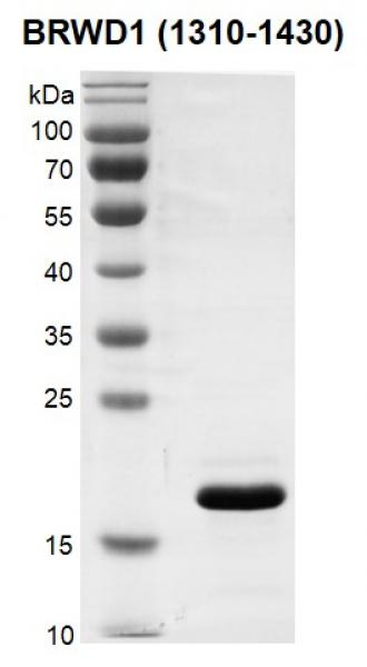 Recombinant BRWD1 (1310-1430) protein gel.