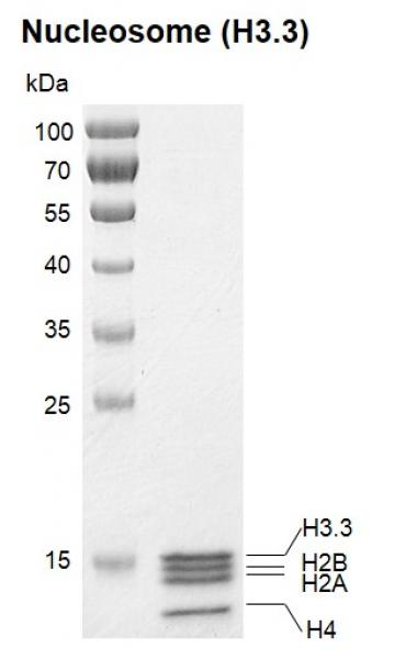 Recombinant Polynucleosomes (H3.3) protein gel.