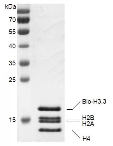 Recombinant Histone Octamer (H3.3) - biotinylated, protein gel.