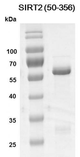 Recombinant SIRT2 (50-356) SDS-PAGE