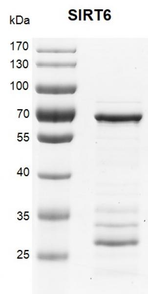 Recombinant SIRT6 SDS-PAGE gel.