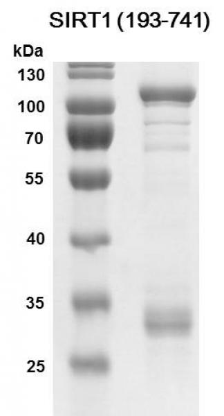 SDS-PAGE Recombinant SIRT1 (193-741)