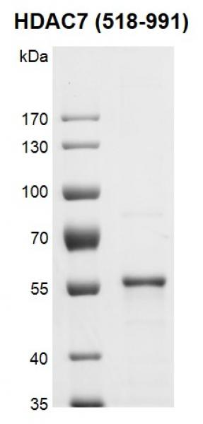 Recombinant HDAC7 (518-991) protein gel.