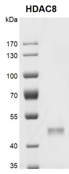 Recombinant HDAC8 protein gel.