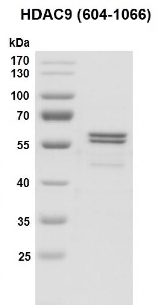 Recombinant HDAC9 (604-1066) protein gel.