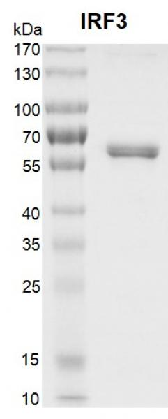 Recombinant IRF3 protein gel.