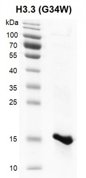 Recombinant Histone H3.3 (G34W) protein SDS-PAGE gel.