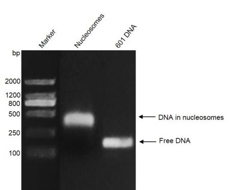 Recombinant Mononucleosomes (H2A.Bbd) - biotinylated, DNA gel.