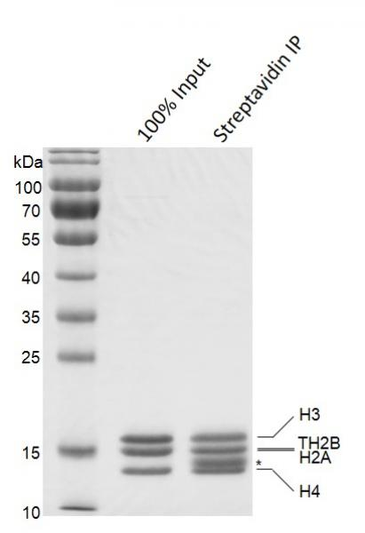 Streptavidin Pull-down of Biotinylated Recombinant Mononucleosomes (TH2B)