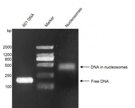 Recombinant Mononucleosomes (TH2B) - biotinylated DNA gel.