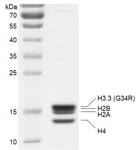 Recombinant Polynucleosomes H3.3 (G34R) protein gel.