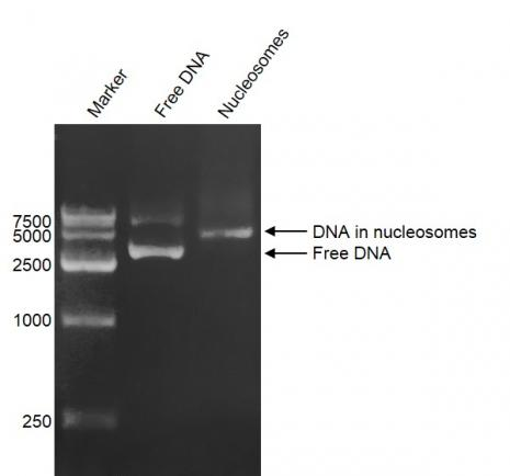 DNA Gel-shift assay for Recombinant Polynucleosomes H3.3 (G34R).