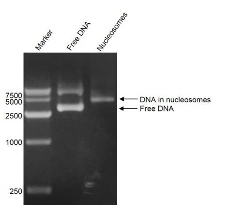 DNA Gel-shift assay for Recombinant Polynucleosomes H3.3 (G34V).