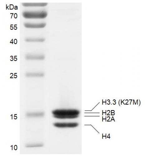 Recombinant Polynucleosomes H3.3 (K27M) protein gel.