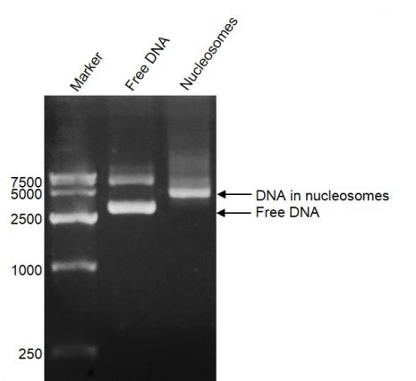 DNA Gel-shift assay for Recombinant Polynucleosomes H3.3 (K27M).