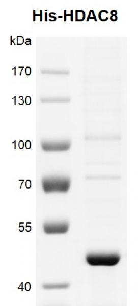 Recombinant HDAC8 His-Tag protein, His-Tag gel.