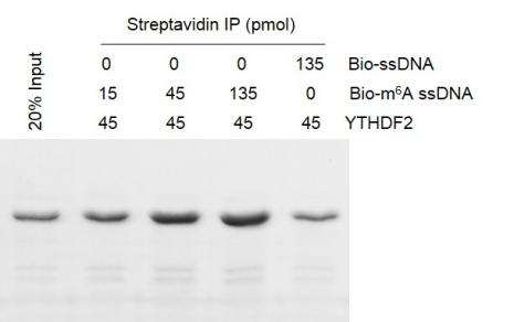 Binding Assay for Recombinant YTHDF2 protein activity.